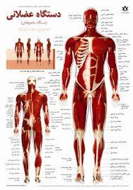 پاورپوینت آناتومی دستگاه عضلانی
